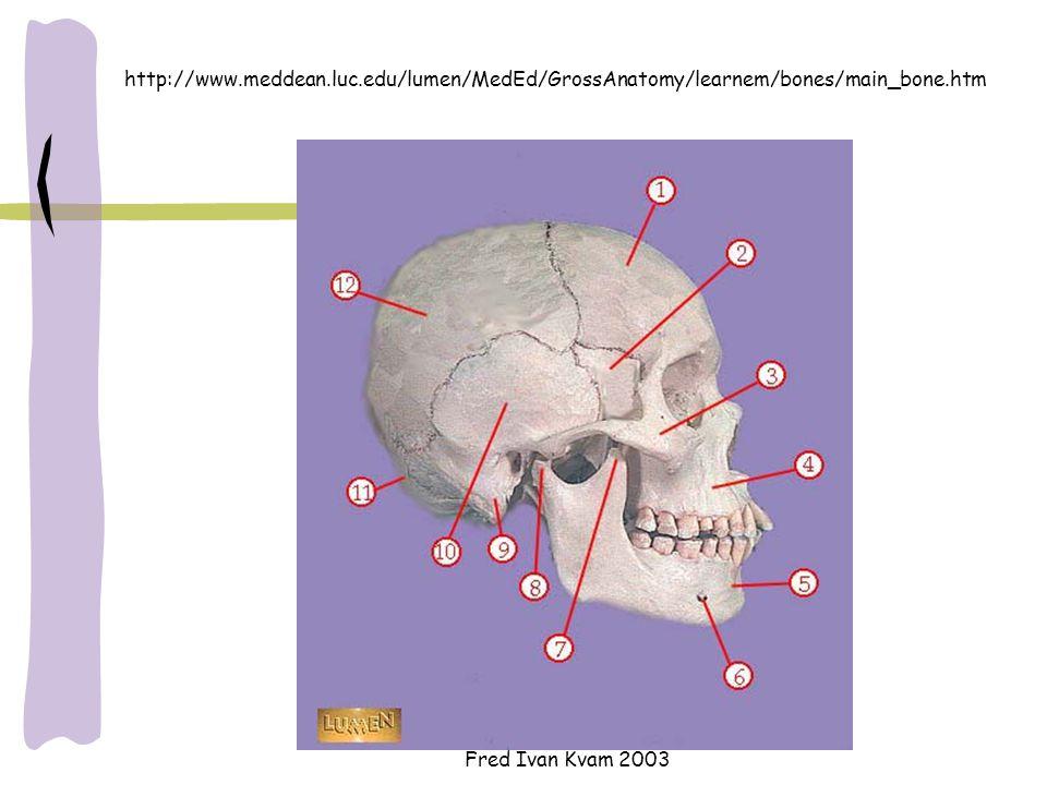 Fred Ivan Kvam 2003 Kraniet - suturene Uekte ledd (fibrøse forbindelser) der knoklene holdes sammen av bindevev som forbeines i voksen alder Sutura sagittalis Sutur coronalis Sutura lambdoidea (occipito-parietalis) Sutura squamosa (temporo–parietalis) Møtestedet sutura coronalis – sagittalis = bregma, fremre (anteriore) fontanelle.