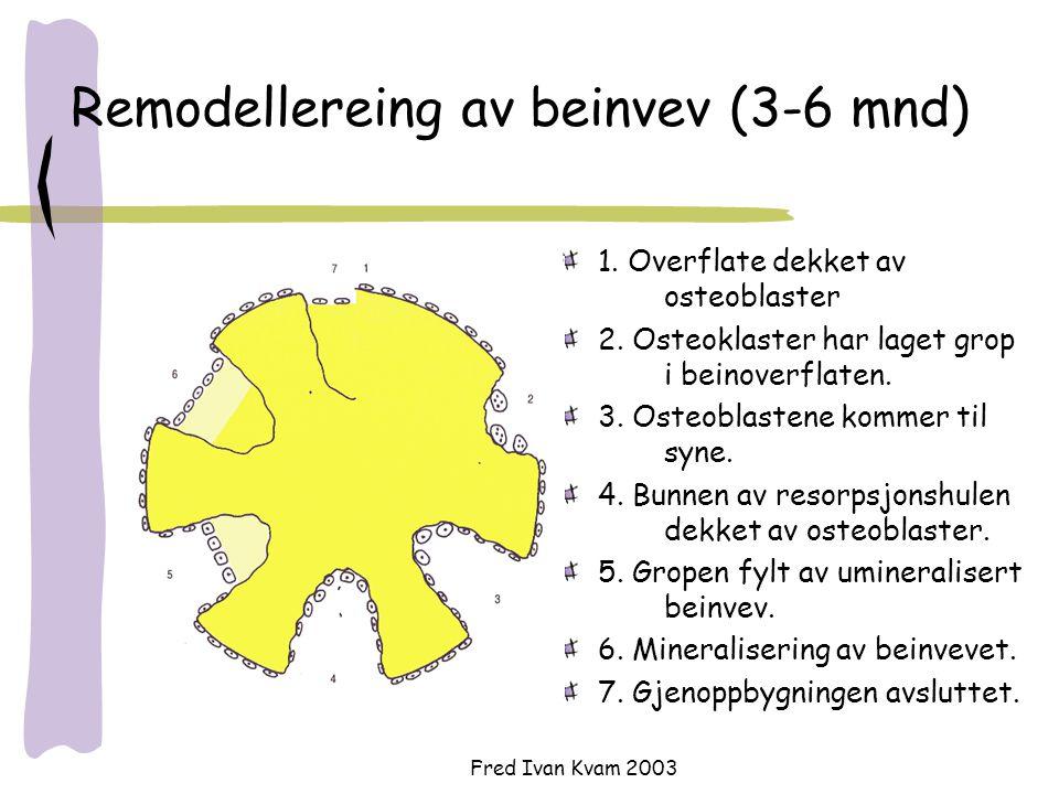 Fred Ivan Kvam 2003 Remodellereing av beinvev (3-6 mnd) 1. Overflate dekket av osteoblaster 2. Osteoklaster har laget grop i beinoverflaten. 3. Osteob