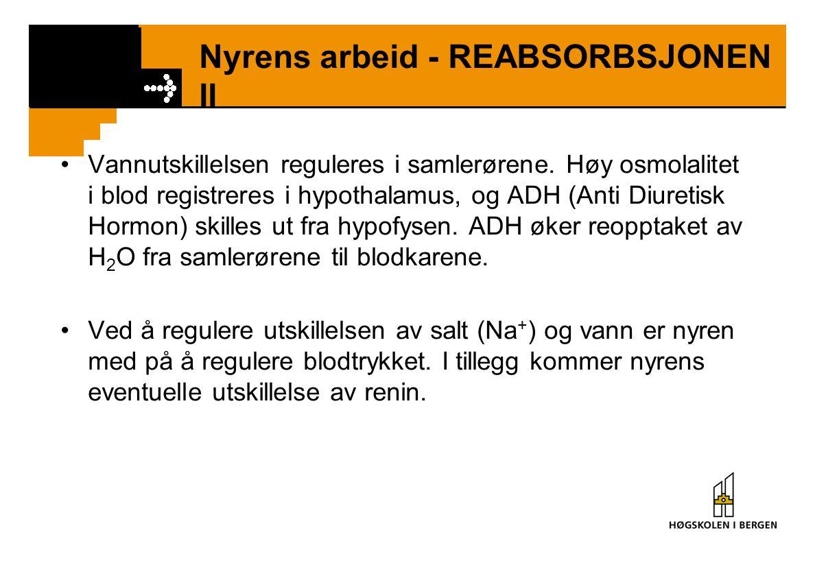 Nyrens arbeid - REABSORBSJONEN II Vannutskillelsen reguleres i samlerørene. Høy osmolalitet i blod registreres i hypothalamus, og ADH (Anti Diuretisk