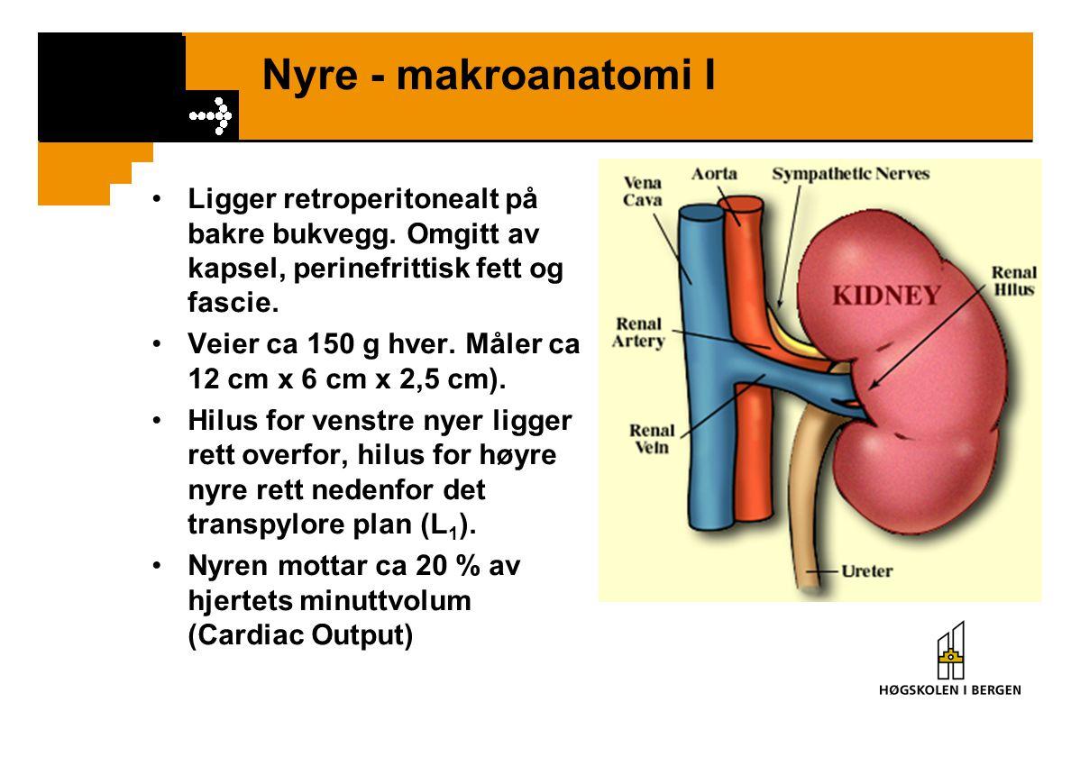 Nyre - makroanatomi I Ligger retroperitonealt på bakre bukvegg. Omgitt av kapsel, perinefrittisk fett og fascie. Veier ca 150 g hver. Måler ca 12 cm x