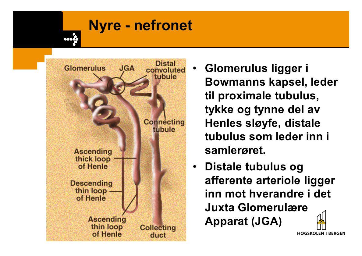 Nyre - nefronet Glomerulus ligger i Bowmanns kapsel, leder til proximale tubulus, tykke og tynne del av Henles sløyfe, distale tubulus som leder inn i
