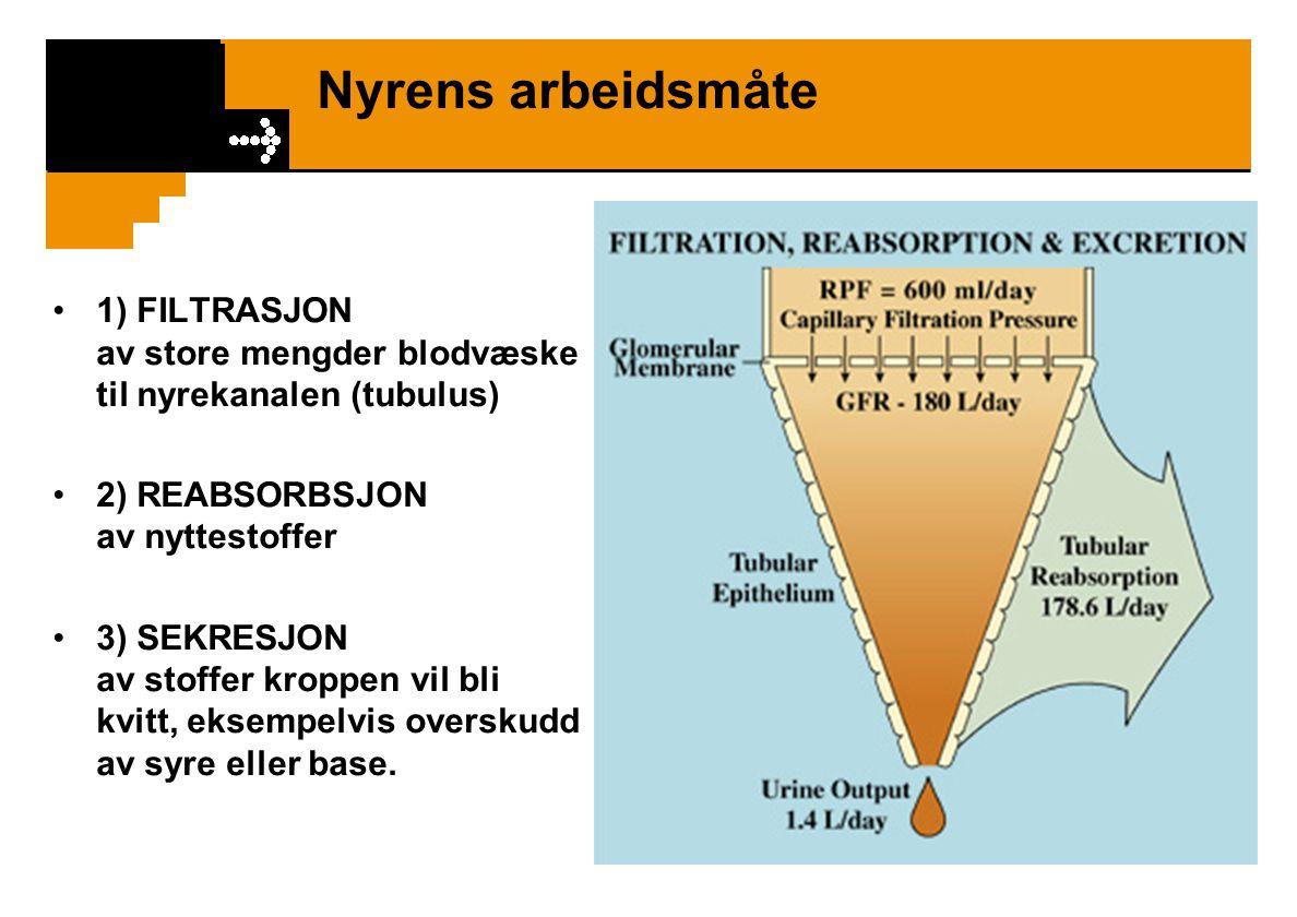 Nyrens arbeidsmåte 1) FILTRASJON av store mengder blodvæske til nyrekanalen (tubulus) 2) REABSORBSJON av nyttestoffer 3) SEKRESJON av stoffer kroppen