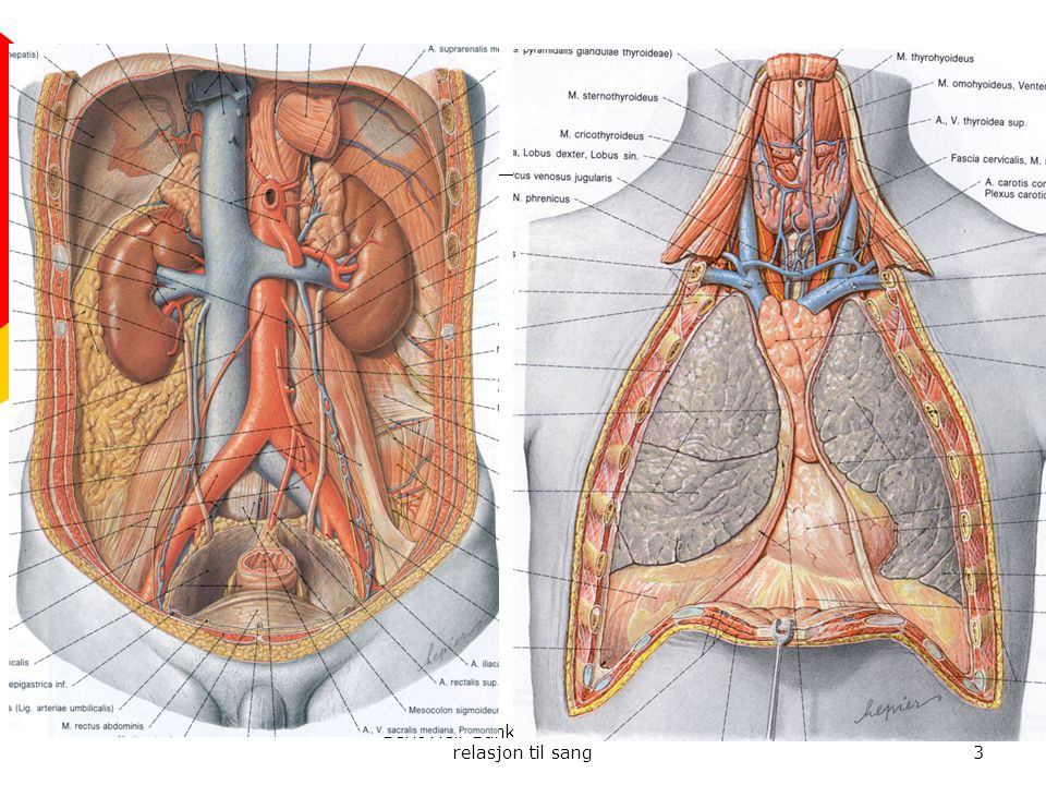 4 Pusten styres fra belgen  Belgen består av 2 store kroppshuler  Den øvre hule er i brystkassen  Den nedre er i magen  Hulene bør kunne utvides i alle retninger på innpust og synke noe sammen på utpust