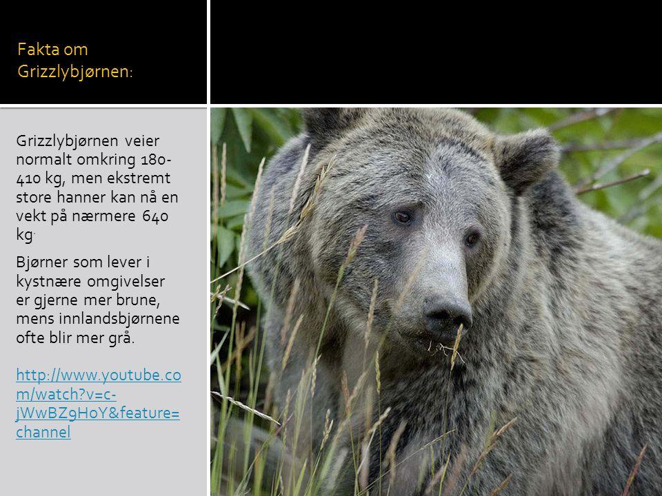 Fakta om Grizzlybjørnen: Grizzlybjørnen veier normalt omkring 180- 410 kg, men ekstremt store hanner kan nå en vekt på nærmere 640 kg.