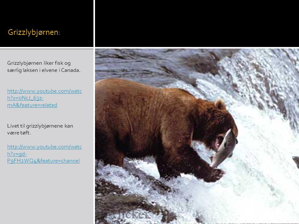 Grizzlybjørnen: Grizzlybjørnen liker fisk og særlig laksen i elvene i Canada.