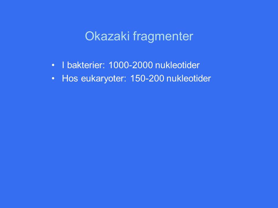 Okazaki fragmenter I bakterier: 1000-2000 nukleotider Hos eukaryoter: 150-200 nukleotider