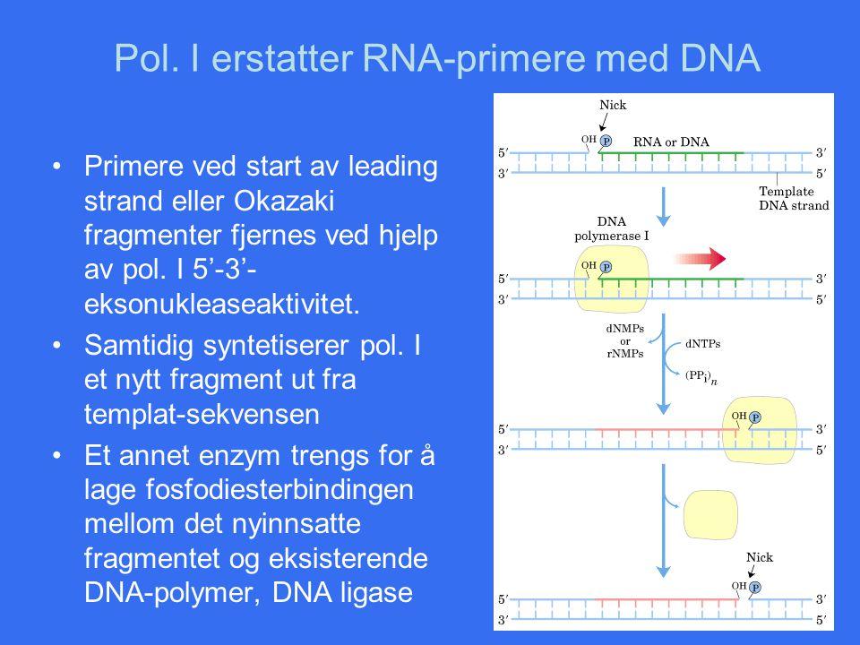 Pol. I erstatter RNA-primere med DNA Primere ved start av leading strand eller Okazaki fragmenter fjernes ved hjelp av pol. I 5'-3'- eksonukleaseaktiv