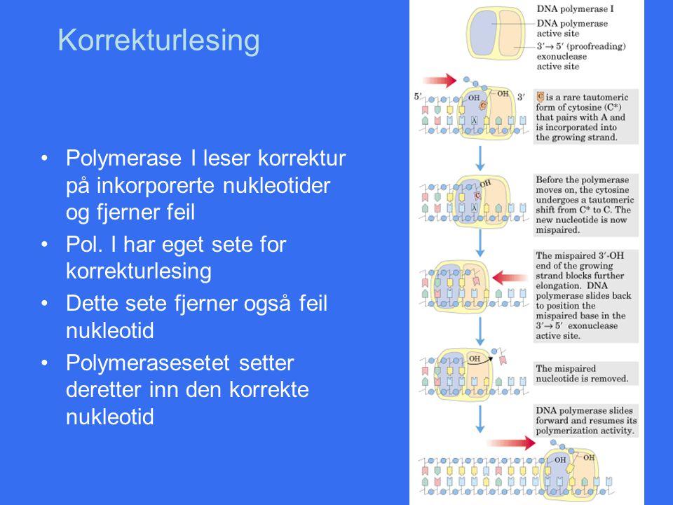 Korrekturlesing Polymerase I leser korrektur på inkorporerte nukleotider og fjerner feil Pol. I har eget sete for korrekturlesing Dette sete fjerner o