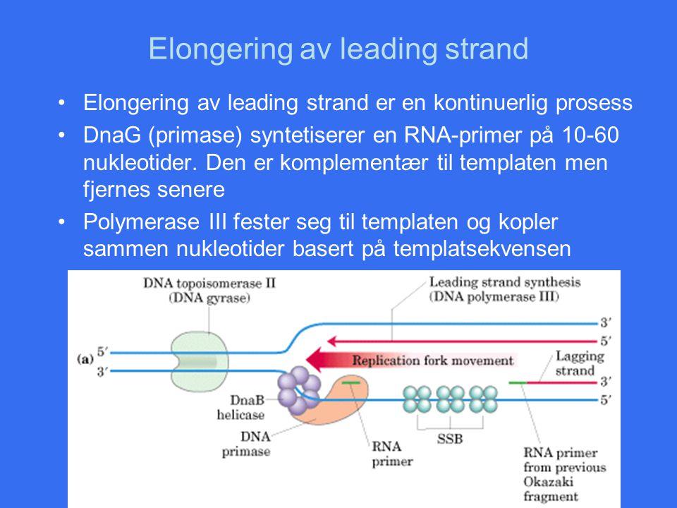 Elongering av leading strand Elongering av leading strand er en kontinuerlig prosess DnaG (primase) syntetiserer en RNA-primer på 10-60 nukleotider. D