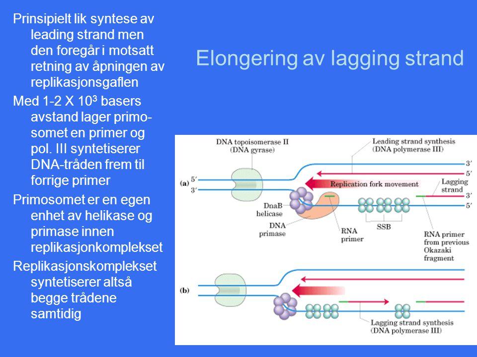 Elongering av lagging strand Prinsipielt lik syntese av leading strand men den foregår i motsatt retning av åpningen av replikasjonsgaflen Med 1-2 X 1