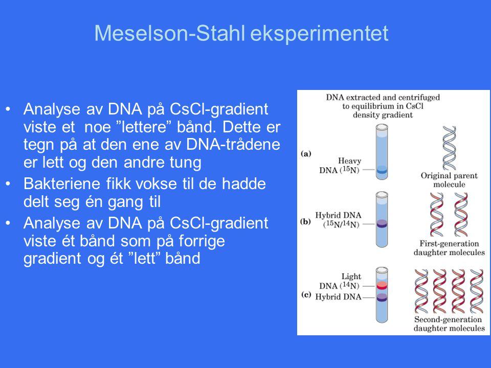 """Meselson-Stahl eksperimentet Analyse av DNA på CsCl-gradient viste et noe """"lettere"""" bånd. Dette er tegn på at den ene av DNA-trådene er lett og den an"""