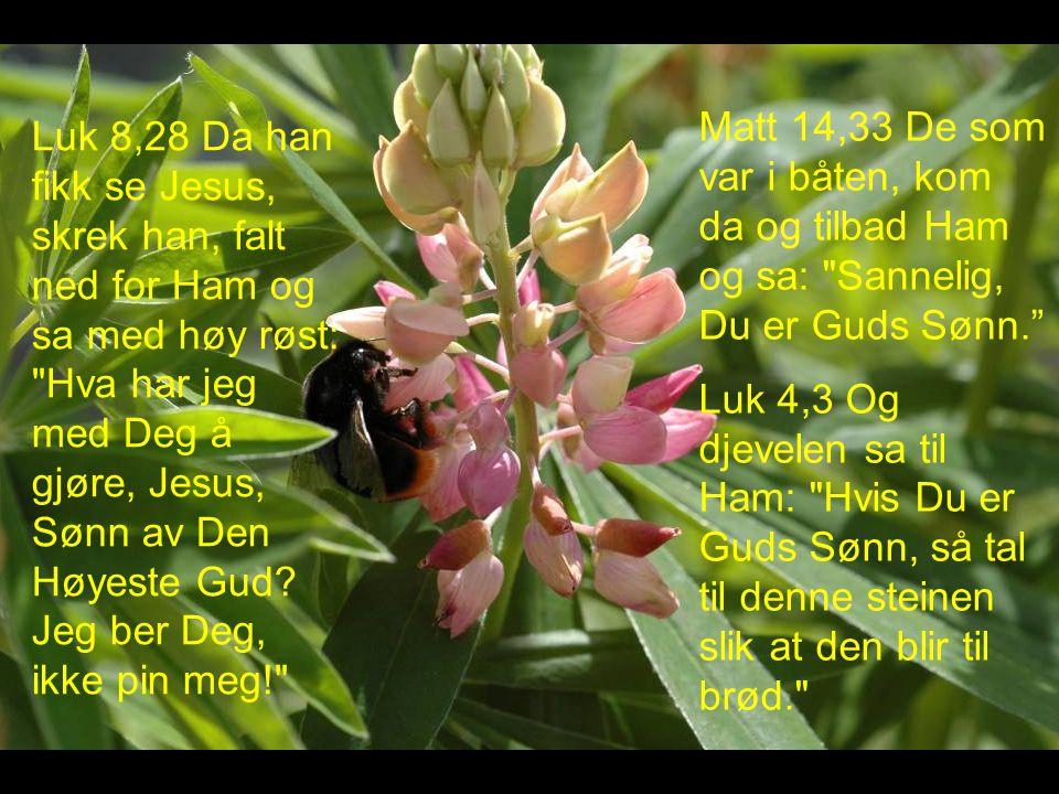 Matt 14,33 De som var i båten, kom da og tilbad Ham og sa: Sannelig, Du er Guds Sønn. Luk 4,3 Og djevelen sa til Ham: Hvis Du er Guds Sønn, så tal til denne steinen slik at den blir til brød. Luk 8,28 Da han fikk se Jesus, skrek han, falt ned for Ham og sa med høy røst: Hva har jeg med Deg å gjøre, Jesus, Sønn av Den Høyeste Gud.