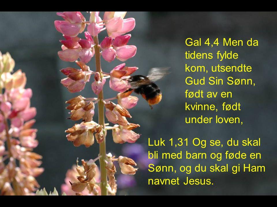 Gal 4,4 Men da tidens fylde kom, utsendte Gud Sin Sønn, født av en kvinne, født under loven, Luk 1,31 Og se, du skal bli med barn og føde en Sønn, og du skal gi Ham navnet Jesus.