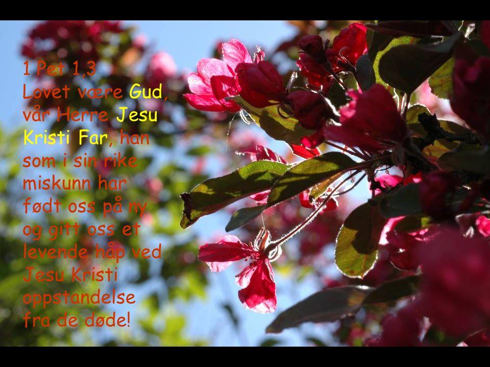 1 Pet 1,3 Lovet være Gud, vår Herre Jesu Kristi Far, han som i sin rike miskunn har født oss på ny og gitt oss et levende håp ved Jesu Kristi oppstand