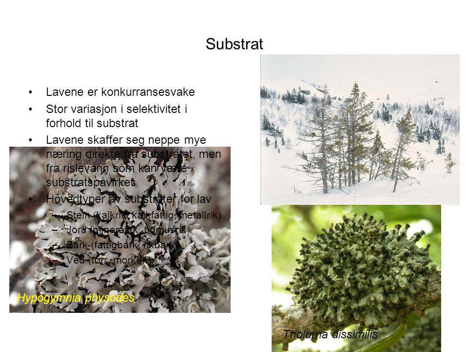 Substrat Lavene er konkurransesvake Stor variasjon i selektivitet i forhold til substrat Lavene skaffer seg neppe mye næring direkte fra substratet, men fra rislevann som kan være substratspåvirket Hovedtyper av substrater for lav –Stein (kalkrik, kalkfattig, metallrik) –Jord (mineralrik, humusrik) –Bark (fattigbark, rikbark) –Ved (tørr, morken) Hypogymnia physodes Tholurna dissimilis