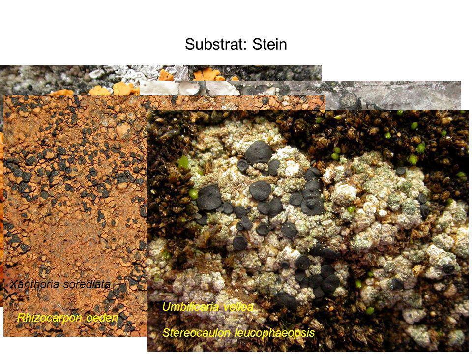 Substrat: Stein Xanthoria sorediata Umbilicaria vellea Rhizocarpon oederi Stereocaulon leucophaeopsis