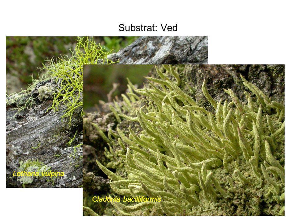Substrat: Ved Letharia vulpina Cladonia bacilliformis
