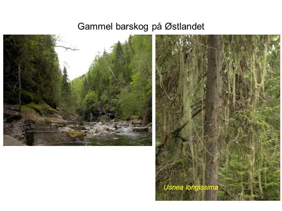 Gammel barskog på Østlandet Usnea longissima