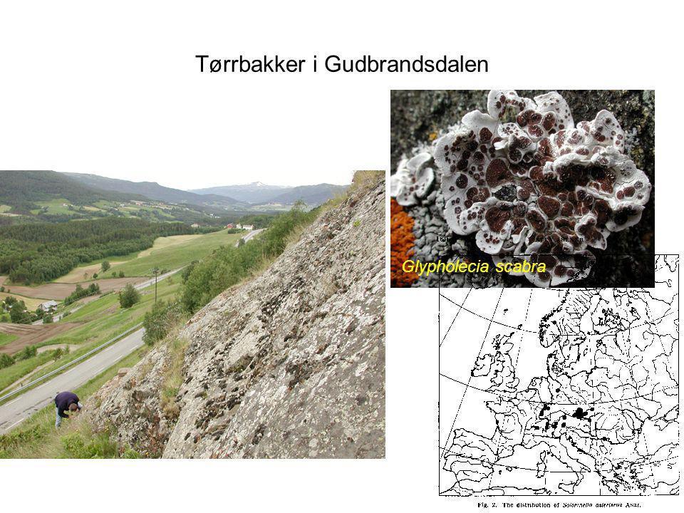 Tørrbakker i Gudbrandsdalen Glypholecia scabra