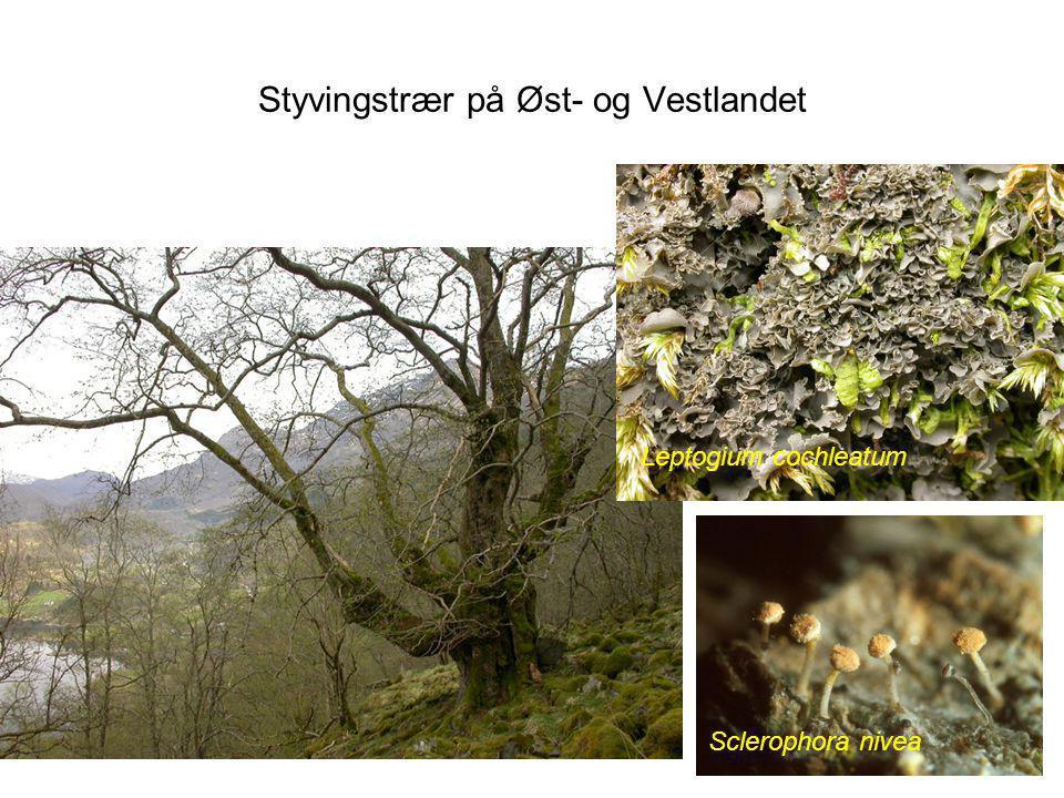Styvingstrær på Øst- og Vestlandet Leptogium cochleatum Sclerophora nivea