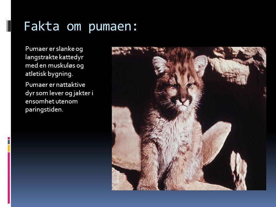 Fakta om pumaen: Pumaer er slanke og langstrakte kattedyr med en muskuløs og atletisk bygning. Pumaer er nattaktive dyr som lever og jakter i ensomhet