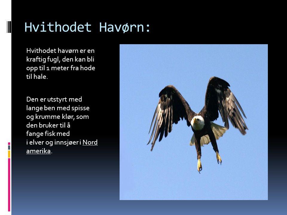 Hvithodet Havørn: Hvithodet havørn er en kraftig fugl, den kan bli opp til 1 meter fra hode til hale. Den er utstyrt med lange ben med spisse og krumm