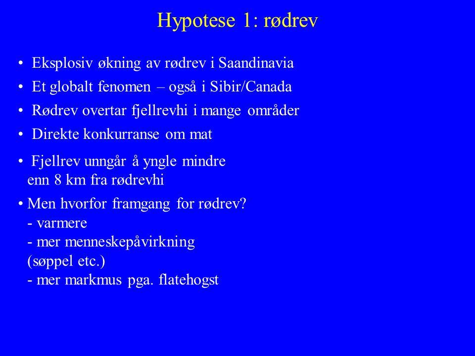 Hypotese 1: rødrev Eksplosiv økning av rødrev i Saandinavia Et globalt fenomen – også i Sibir/Canada Rødrev overtar fjellrevhi i mange områder Direkte