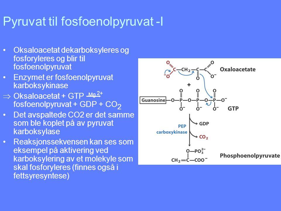 Pyruvat til fosfoenolpyruvat -I Oksaloacetat dekarboksyleres og fosforyleres og blir til fosfoenolpyruvat Enzymet er fosfoenolpyruvat karboksykinase 