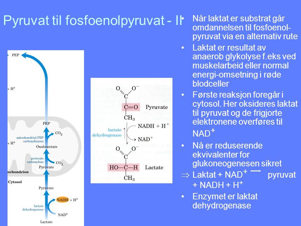 Pyruvat til fosfoenolpyruvat - II Når laktat er substrat går omdannelsen til fosfoenol- pyruvat via en alternativ rute Laktat er resultat av anaerob g