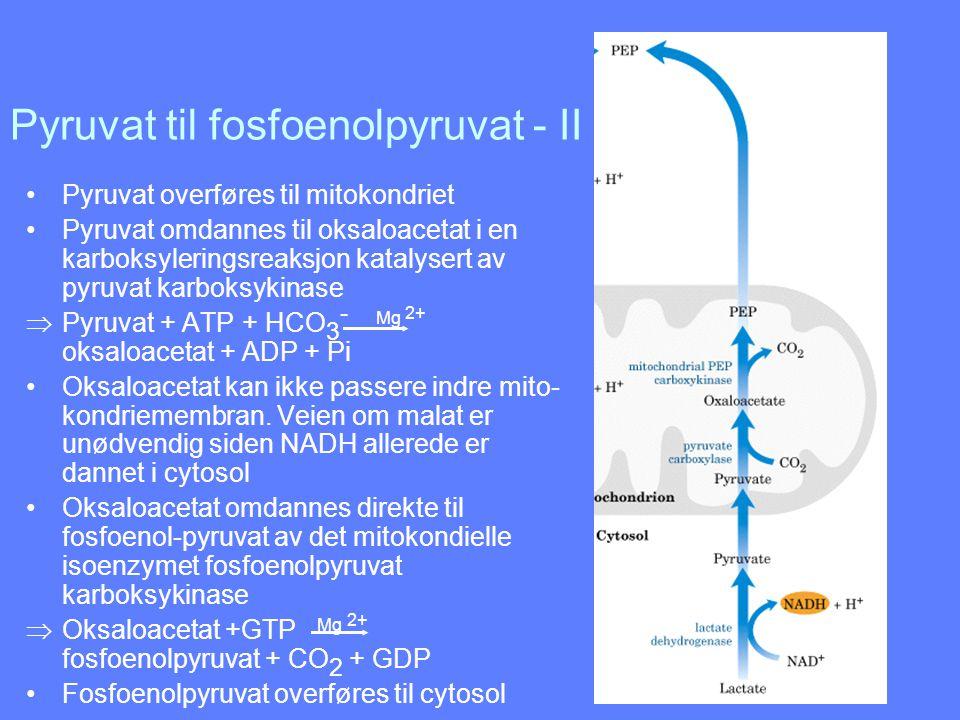 Pyruvat til fosfoenolpyruvat - II Pyruvat overføres til mitokondriet Pyruvat omdannes til oksaloacetat i en karboksyleringsreaksjon katalysert av pyru