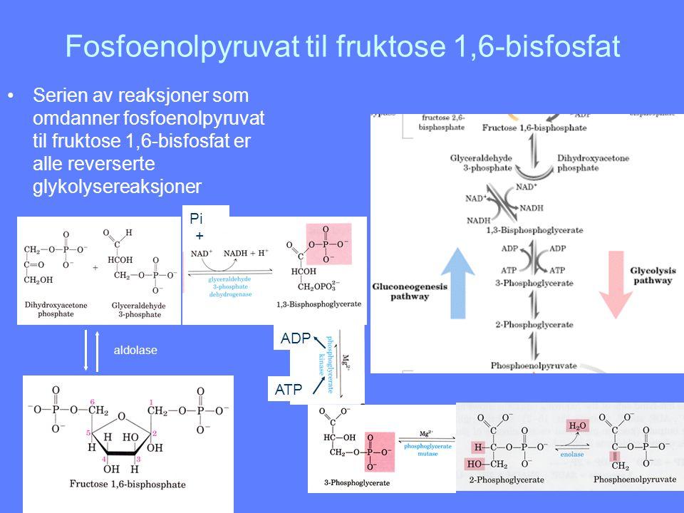 Fosfoenolpyruvat til fruktose 1,6-bisfosfat Serien av reaksjoner som omdanner fosfoenolpyruvat til fruktose 1,6-bisfosfat er alle reverserte glykolyse