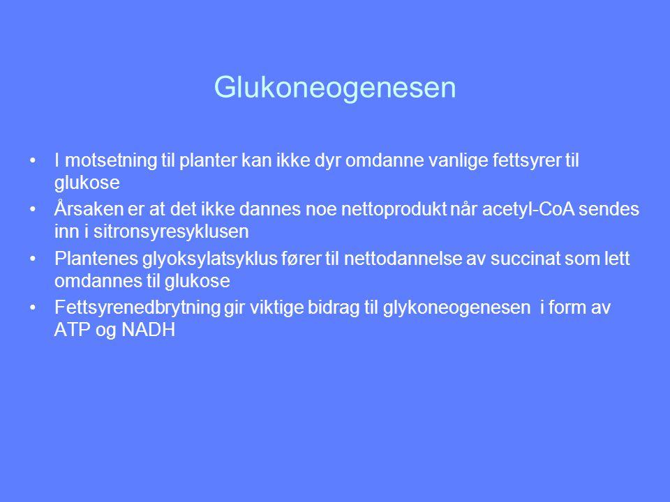 Glukoneogenesen I motsetning til planter kan ikke dyr omdanne vanlige fettsyrer til glukose Årsaken er at det ikke dannes noe nettoprodukt når acetyl-