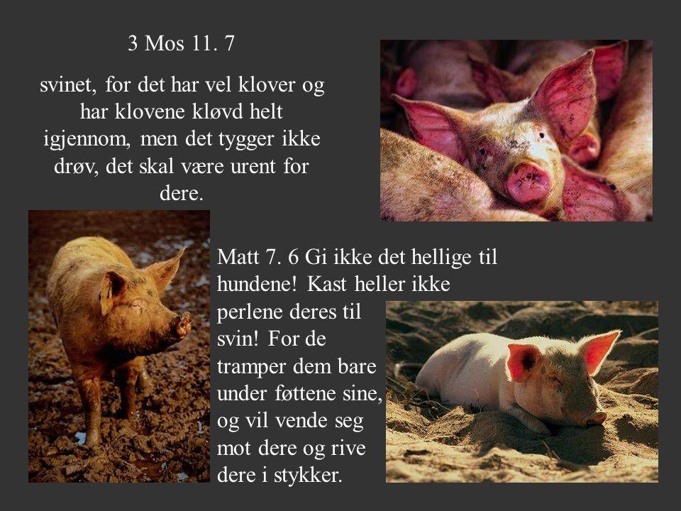 3 Mos 11. 7 svinet, for det har vel klover og har klovene kløvd helt igjennom, men det tygger ikke drøv, det skal være urent for dere. Matt 7. 6 Gi ik