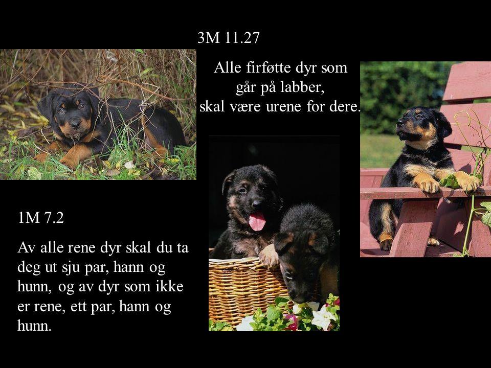 3M 11.27 Alle firføtte dyr som går på labber, skal være urene for dere. 1M 7.2 Av alle rene dyr skal du ta deg ut sju par, hann og hunn, og av dyr som