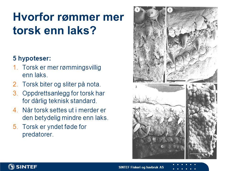 SINTEF Fiskeri og havbruk AS Hvorfor rømmer mer torsk enn laks? 5 hypoteser: 1.Torsk er mer rømmingsvillig enn laks. 2.Torsk biter og sliter på nota.
