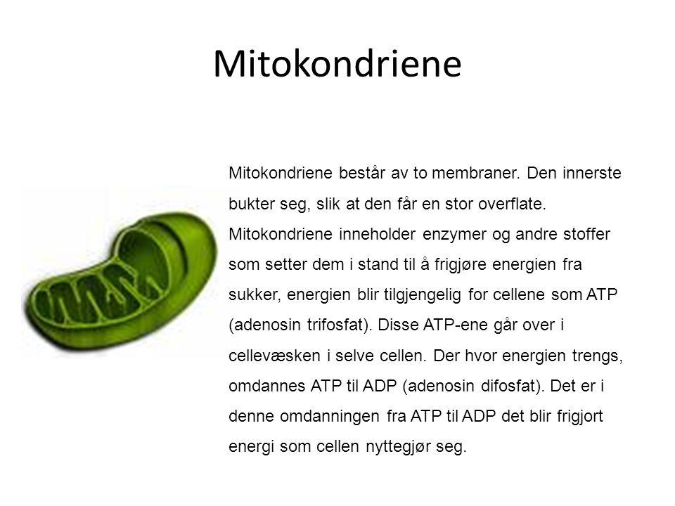 Mitokondriene Mitokondriene består av to membraner. Den innerste bukter seg, slik at den får en stor overflate. Mitokondriene inneholder enzymer og an