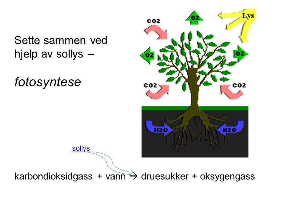 sollys karbondioksidgass + vann  druesukker + oksygengass Sette sammen ved hjelp av sollys – fotosyntese