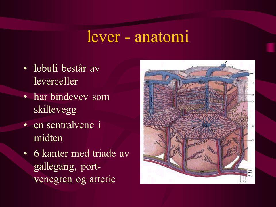 lever - anatomi lobuli består av leverceller har bindevev som skillevegg en sentralvene i midten 6 kanter med triade av gallegang, port- venegren og arterie