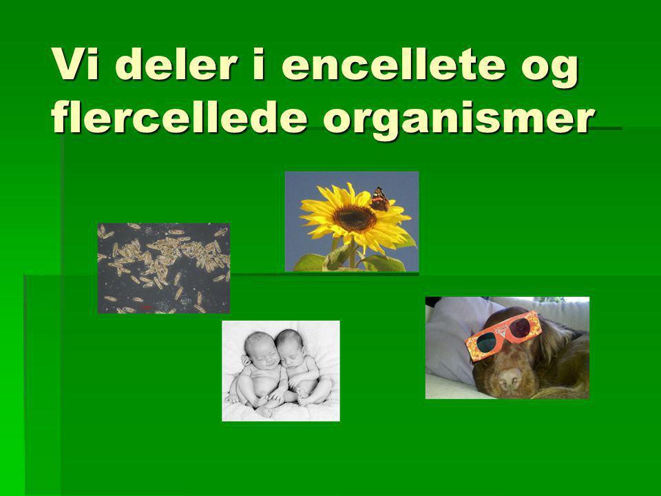 Vi deler i encellete og flercellede organismer