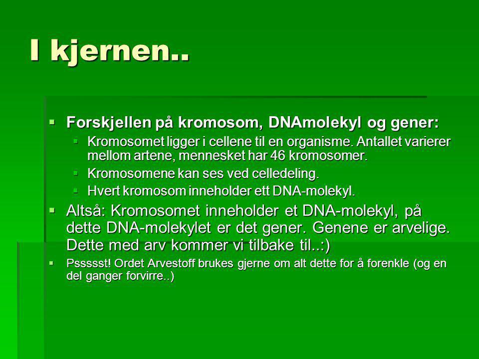 I kjernen..  Forskjellen på kromosom, DNAmolekyl og gener:  Kromosomet ligger i cellene til en organisme. Antallet varierer mellom artene, mennesket