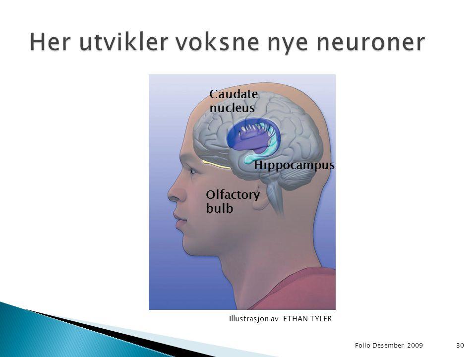 Follo Desember 200930 Hippocampus Olfactory bulb Caudate nucleus Illustrasjon av ETHAN TYLER