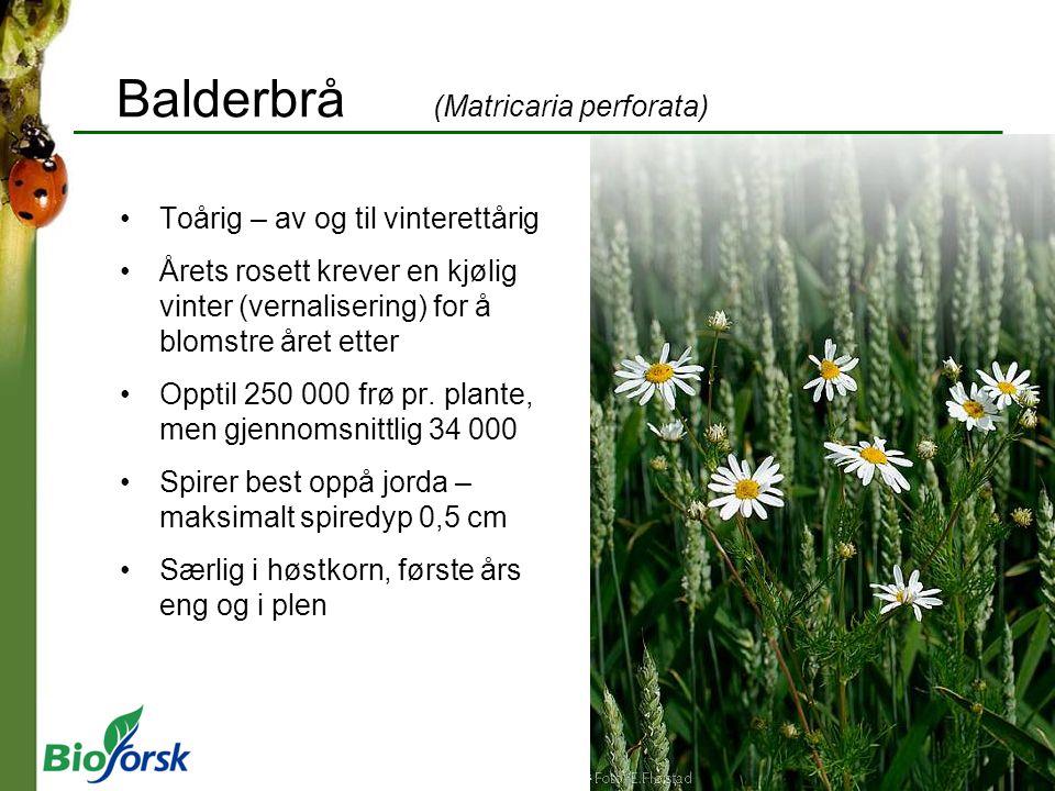 Balderbrå (Matricaria perforata) Toårig – av og til vinterettårig Årets rosett krever en kjølig vinter (vernalisering) for å blomstre året etter Oppti
