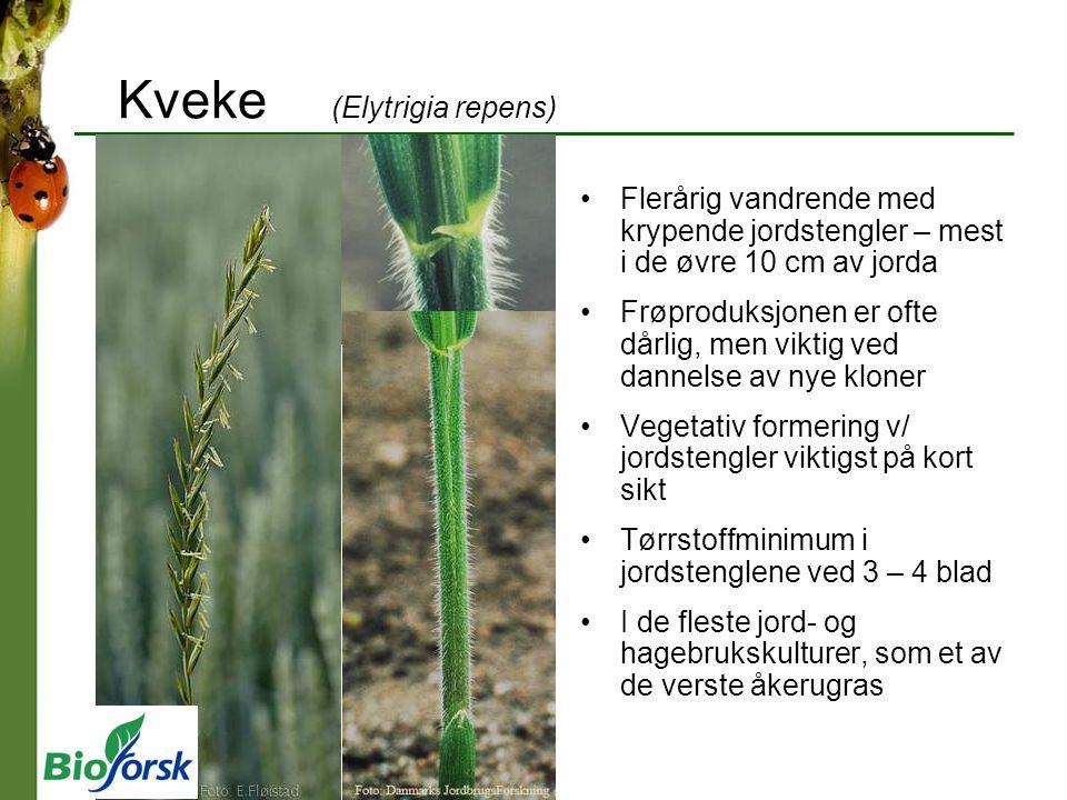 Kveke (Elytrigia repens) Flerårig vandrende med krypende jordstengler – mest i de øvre 10 cm av jorda Frøproduksjonen er ofte dårlig, men viktig ved d