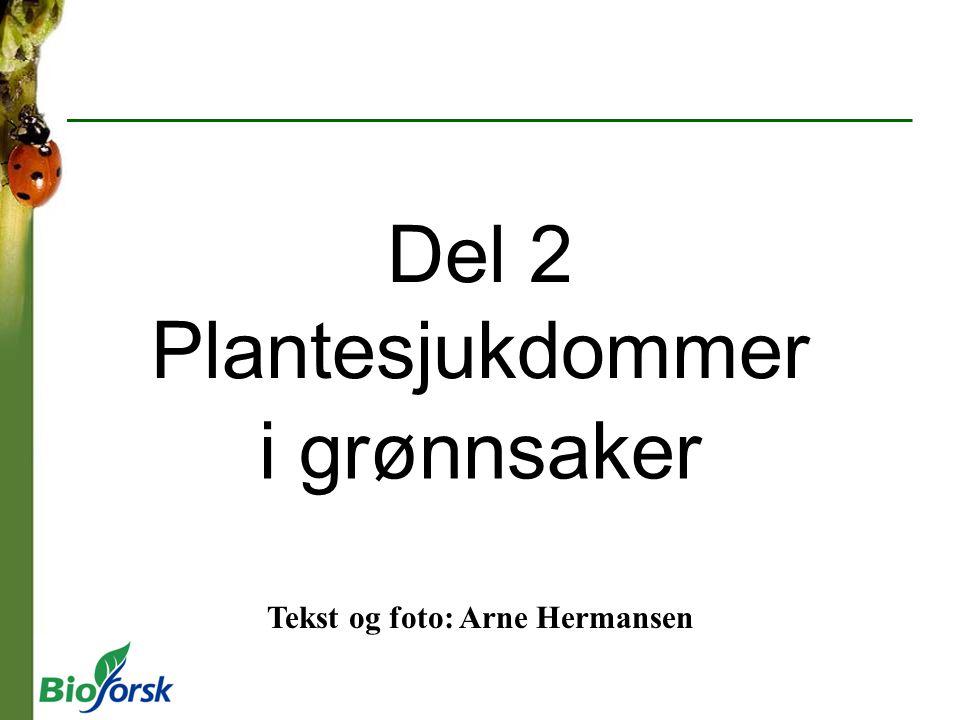 Del 2 Plantesjukdommer i grønnsaker Tekst og foto: Arne Hermansen