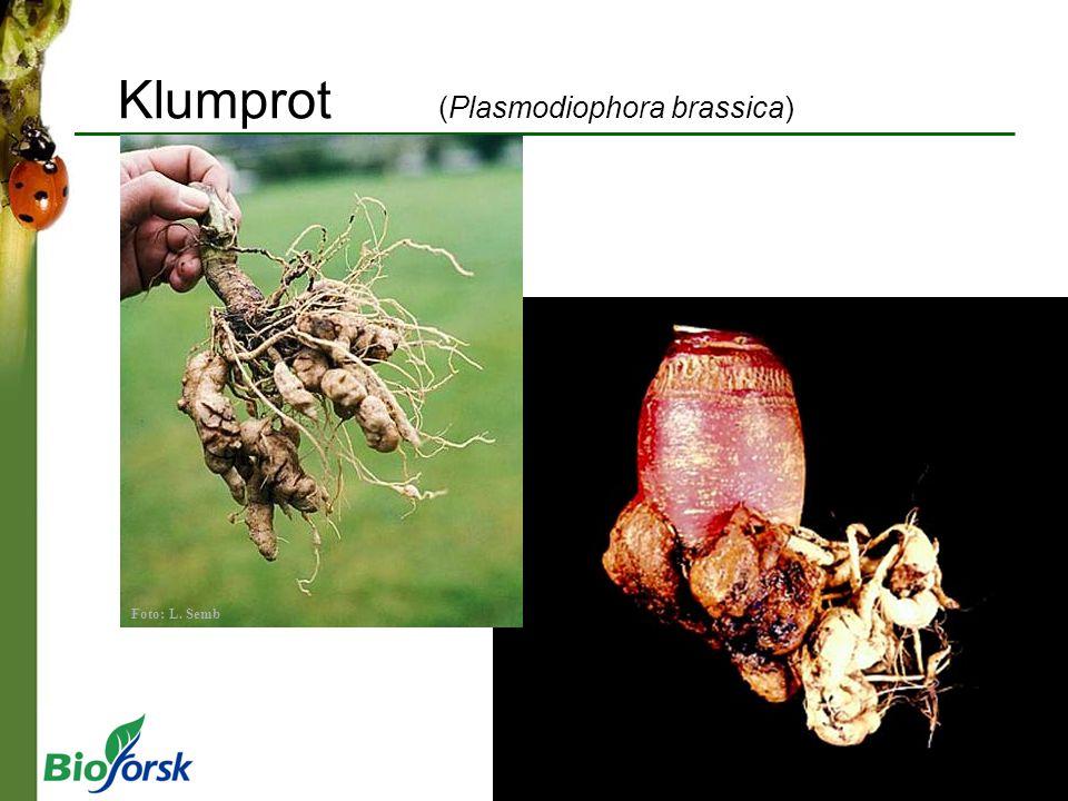Klumprot (Plasmodiophora brassica) Foto: L. Semb