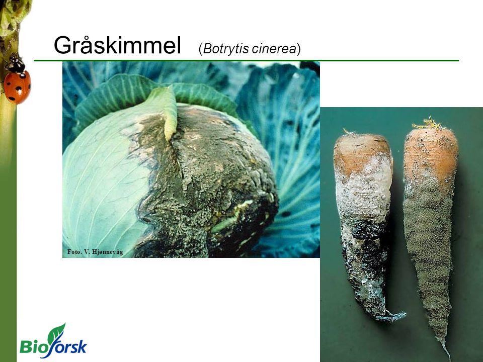 Gråskimmel (Botrytis cinerea) Foto. V. Hjønnevåg