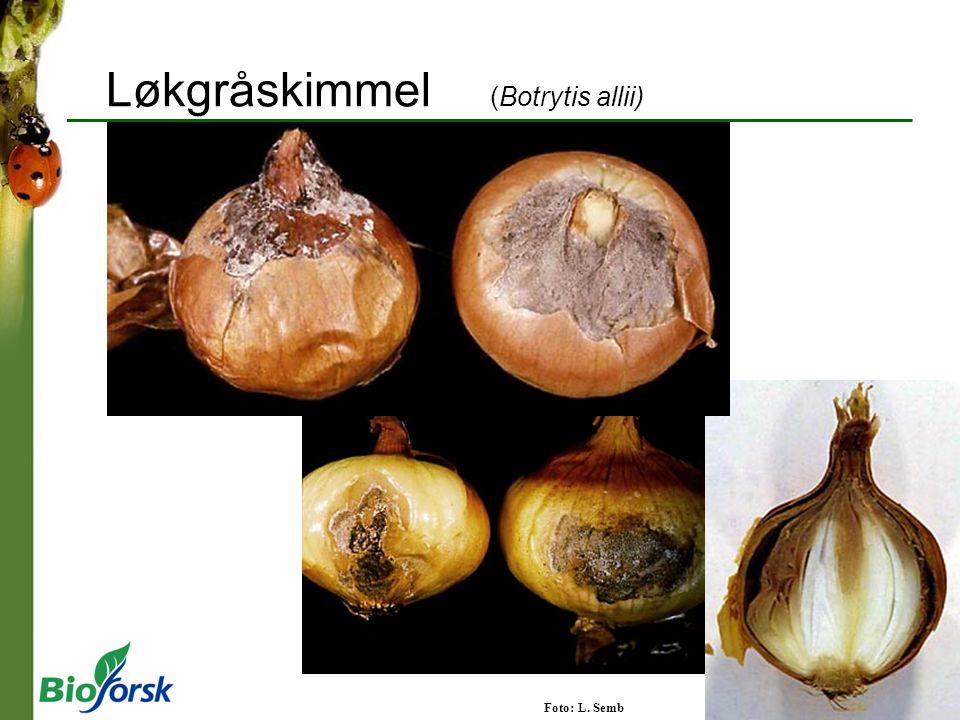 Løkgråskimmel (Botrytis allii) Foto: L. Semb