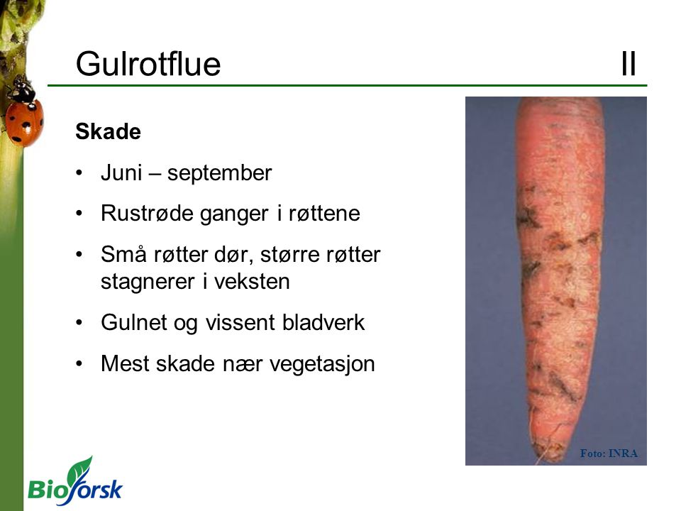 Gulrotflue II Skade Juni – september Rustrøde ganger i røttene Små røtter dør, større røtter stagnerer i veksten Gulnet og vissent bladverk Mest skade