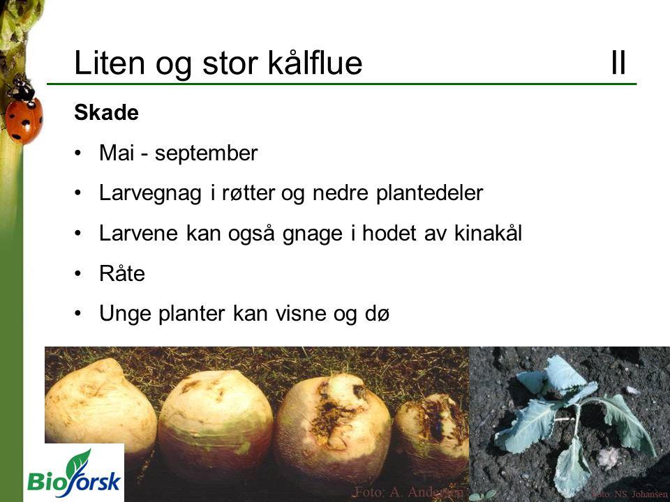 Liten og stor kålflue II Skade Mai - september Larvegnag i røtter og nedre plantedeler Larvene kan også gnage i hodet av kinakål Råte Unge planter kan