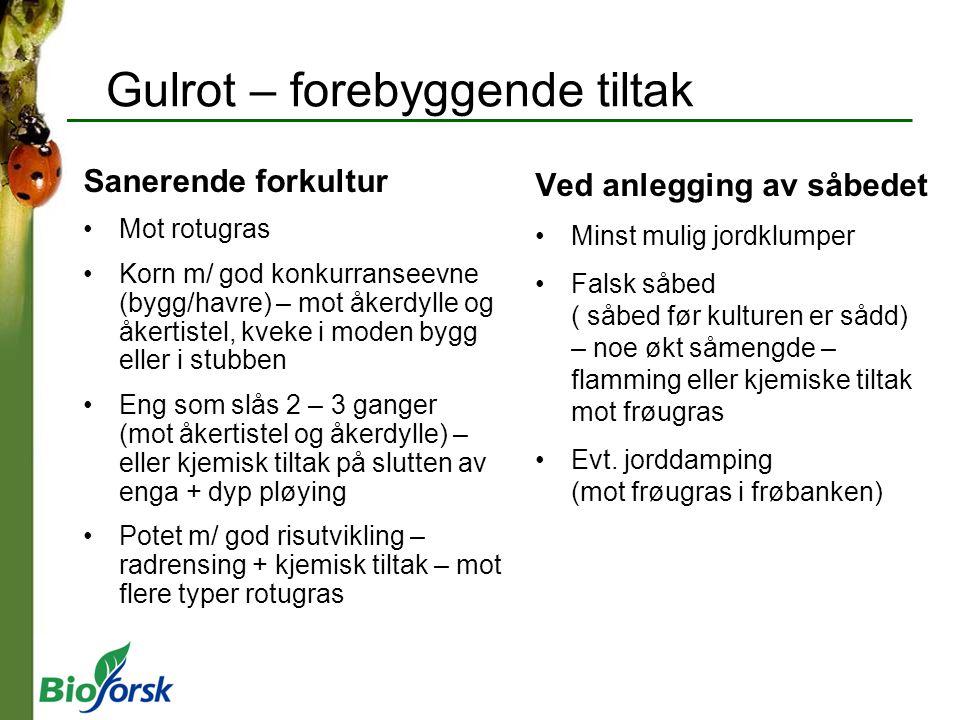 Gulrot – forebyggende tiltak Sanerende forkultur Mot rotugras Korn m/ god konkurranseevne (bygg/havre) – mot åkerdylle og åkertistel, kveke i moden by
